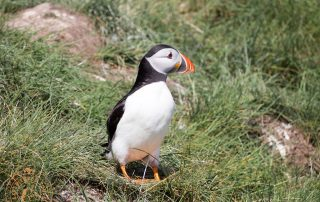 Puffin on Lindisfarne