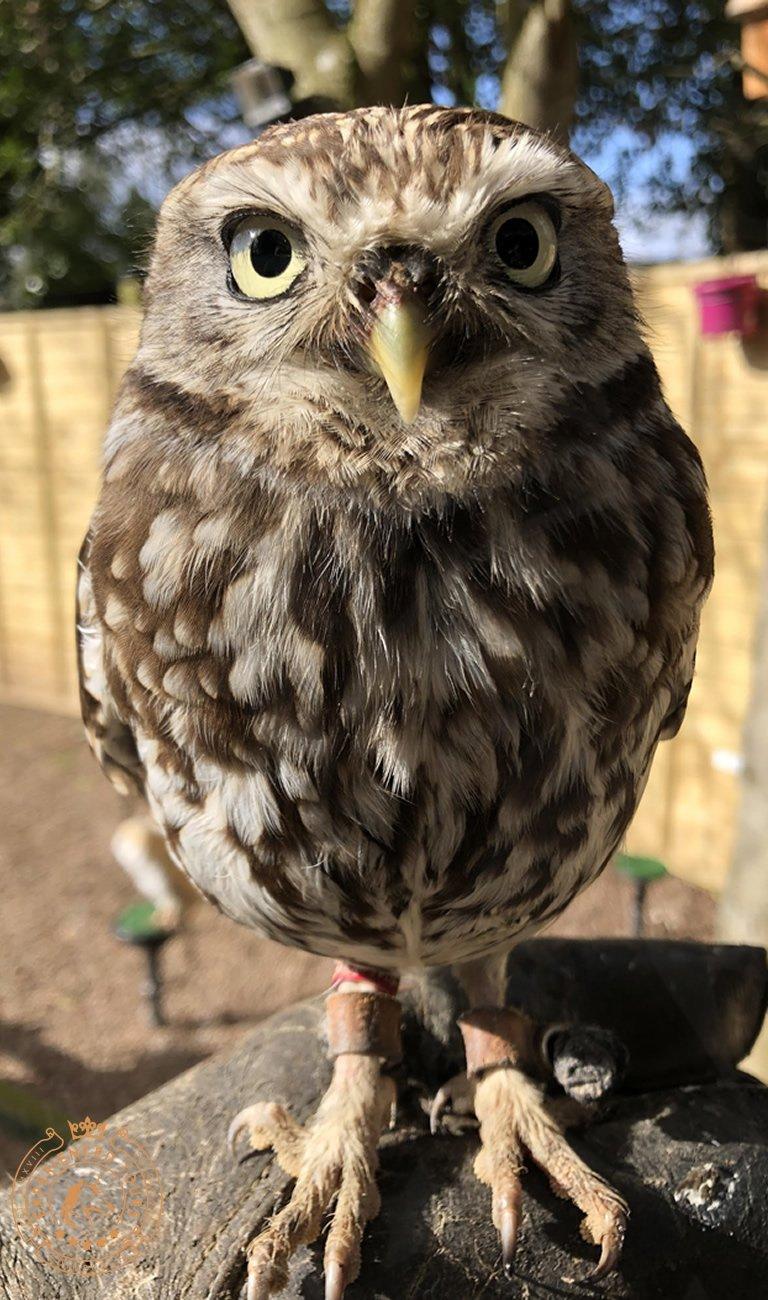 Owl at Dalhousie Castle