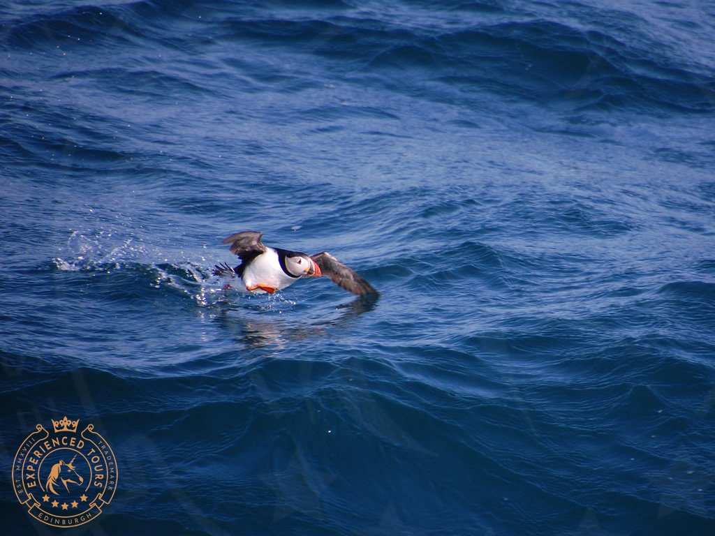 Puffin skirting the water taken from onboard The Majestic Line