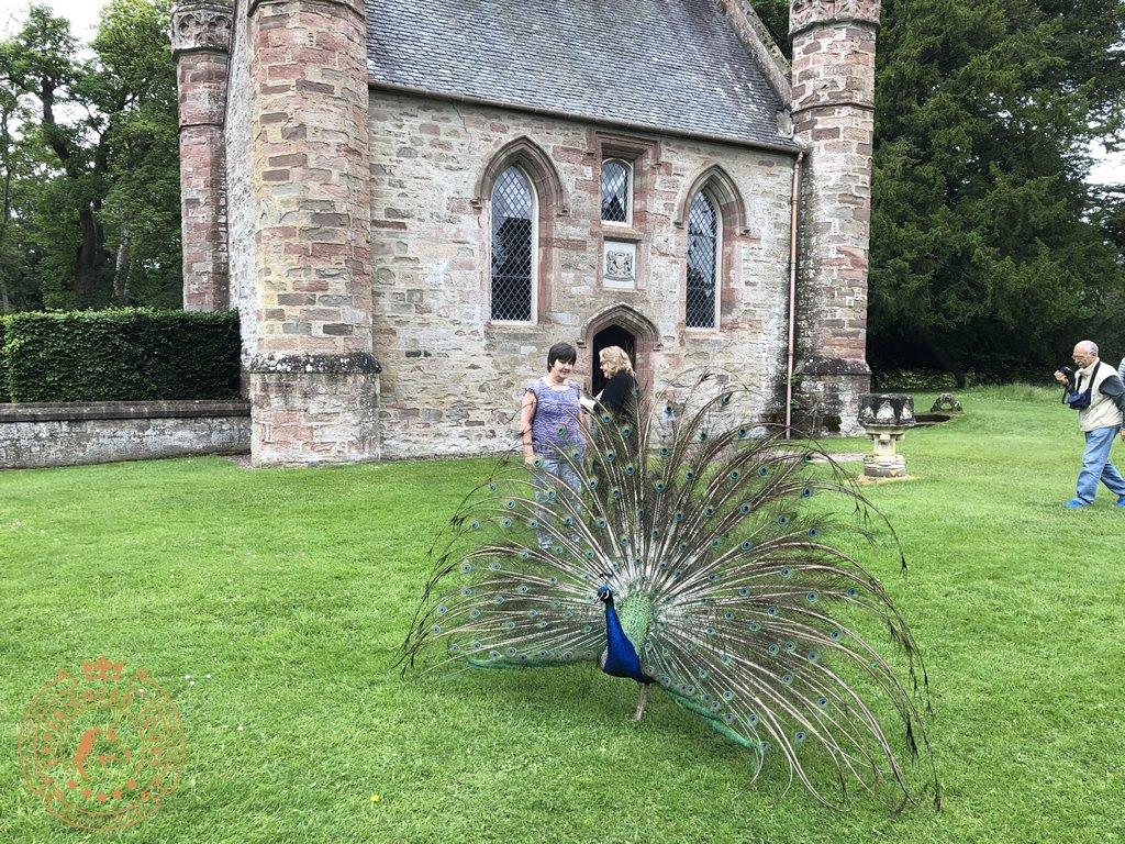 Peacock outside Scone Chapel
